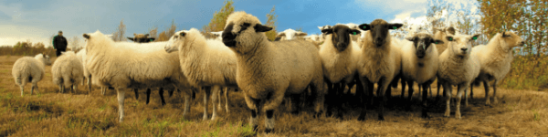 Sheep Record Keeping Software