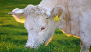 How-Long-Are-Cows-Pregnant