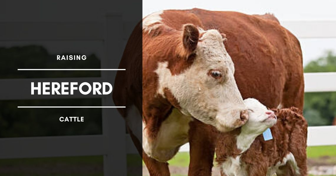 Raising Hereford Beef Cattle